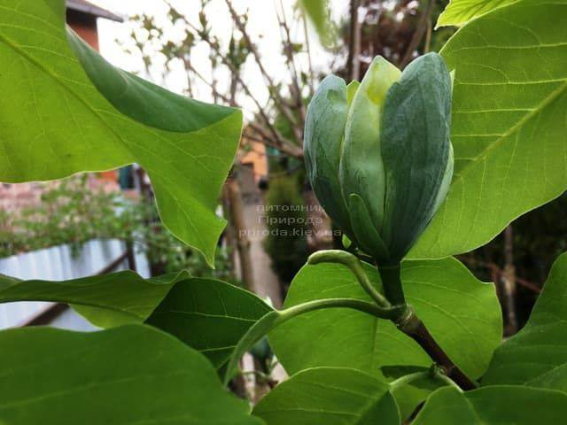 Магнолия Голубой Опал (Maqnolia acuminata Blue Opal) ФОТО Питомник растений Природа (2)