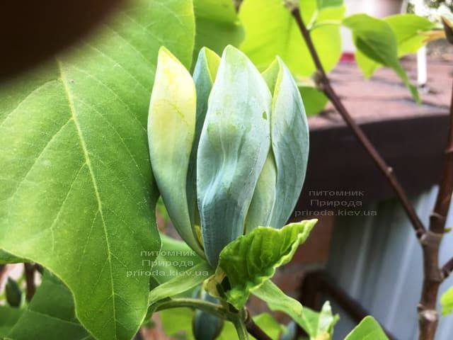Магнолия Голубой Опал (Maqnolia acuminata Blue Opal) ФОТО Питомник растений Природа (3)