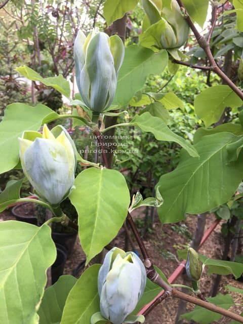 Магнолия Голубой Опал (Maqnolia acuminata Blue Opal) ФОТО Питомник растений Природа (8)