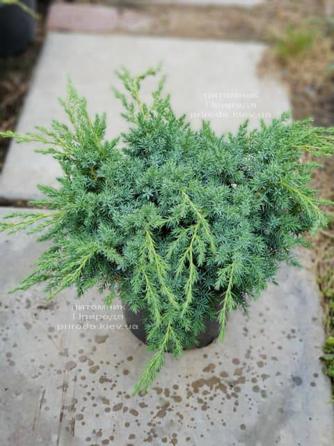 Можжевельник чешуйчатый Блю Карпет (Juniperus squamata Blue Carpet) ФОТО Питомник растений Природа (1)
