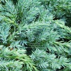 Можжевельник чешуйчатый Блю Карпет (Juniperus squamata Blue Carpet) ФОТО Питомник растений Природа (10)