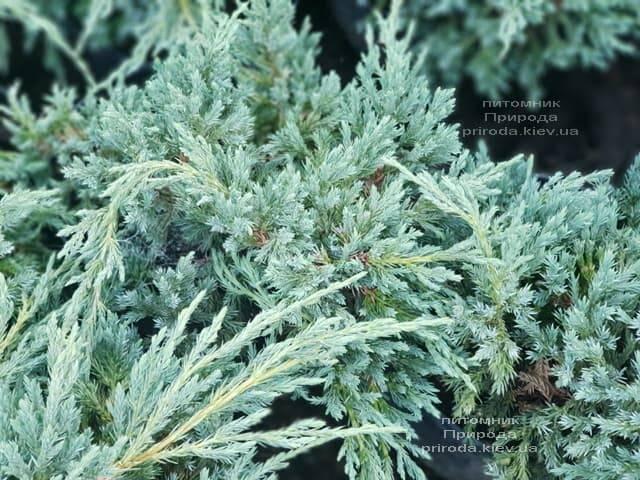 Можжевельник чешуйчатый Блю Карпет (Juniperus squamata Blue Carpet) ФОТО Питомник растений Природа (12)