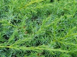 Можжевельник чешуйчатый Блю Карпет (Juniperus squamata Blue Carpet) ФОТО Питомник растений Природа (5)
