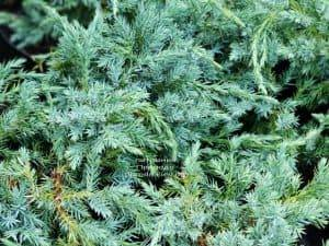 Можжевельник чешуйчатый Блю Карпет (Juniperus squamata Blue Carpet) ФОТО Питомник растений Природа (9)