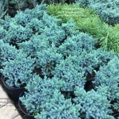 Можжевельник чешуйчатый Блю Стар (Juniperus squamata Blue Star) ФОТО Питомник растений Природа (1)