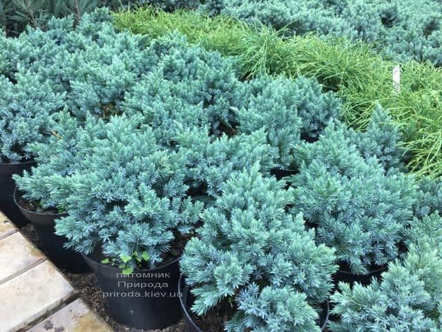 Можжевельник чешуйчатый Блю Стар (Juniperus squamata Blue Star) ФОТО Питомник растений Природа (2)