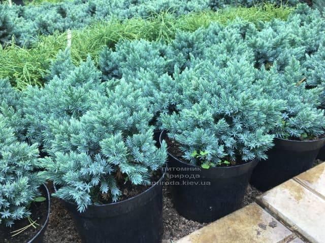 Можжевельник чешуйчатый Блю Стар (Juniperus squamata Blue Star) ФОТО Питомник растений Природа (3)