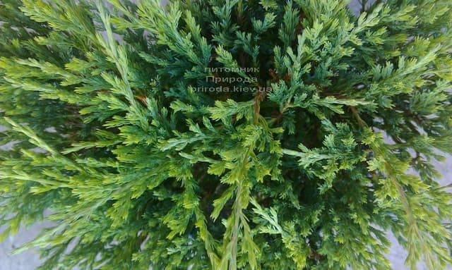 Можжевельник горизонтальный Андорра Компакт (Juniperus horizontalis Andorra Compact) ФОТО Питомник растений Природа (2)