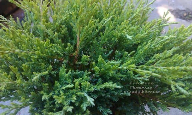 Можжевельник горизонтальный Андорра Компакт (Juniperus horizontalis Andorra Compact) ФОТО Питомник растений Природа (3)