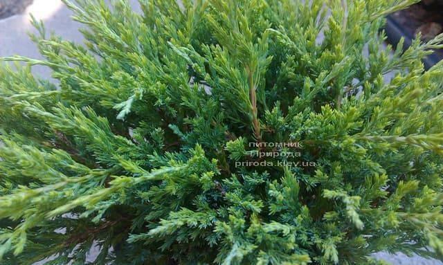 Можжевельник горизонтальный Андорра Компакт (Juniperus horizontalis Andorra Compact) ФОТО Питомник растений Природа (4)