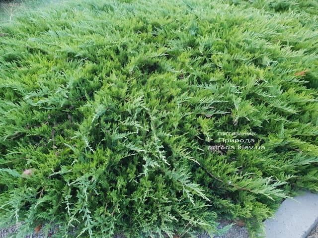 Можжевельник казацкий Тамарисцифолия (Juniperus sabina Tamariscifolia) ФОТО Питомник растений Природа (1)