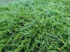 Можжевельник казацкий Тамарисцифолия (Juniperus sabina Tamariscifolia) ФОТО Питомник растений Природа (3)