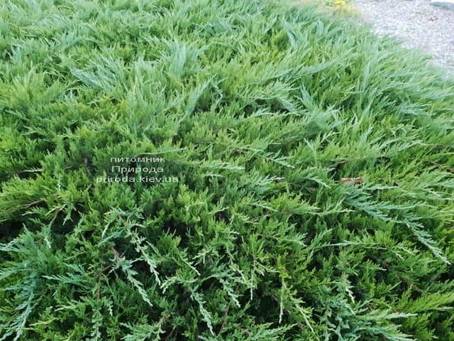 Можжевельник казацкий Тамарисцифолия (Juniperus sabina Tamariscifolia) ФОТО Питомник растений Природа (4)