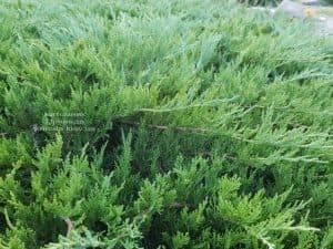 Можжевельник казацкий Тамарисцифолия (Juniperus sabina Tamariscifolia) ФОТО Питомник растений Природа (5)
