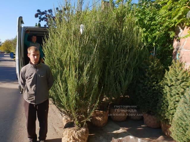 Можжевельник скальный Скайрокет (Juniperus scopulorum Skyrocket) ФОТО Питомник растений Природа (20)