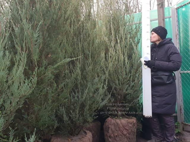Можжевельник скальный Скайрокет (Juniperus scopulorum Skyrocket) ФОТО Питомник растений Природа (22)