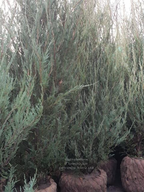 Можжевельник скальный Скайрокет (Juniperus scopulorum Skyrocket) ФОТО Питомник растений Природа (23)