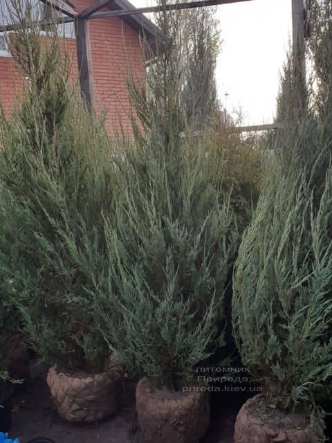 Можжевельник скальный Скайрокет (Juniperus scopulorum Skyrocket) ФОТО Питомник растений Природа (24)