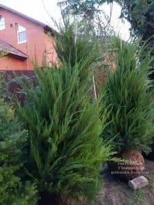 Можжевельник средний / пфитцериана Минт Джулеп (Juniperus media / pfitzeriana Mint Julep) ФОТО Питомник растений Природа (5)