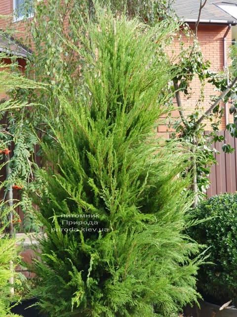 Можжевельник средний / пфитцериана Минт Джулеп (Juniperus media / pfitzeriana Mint Julep) ФОТО Питомник растений Природа (6)