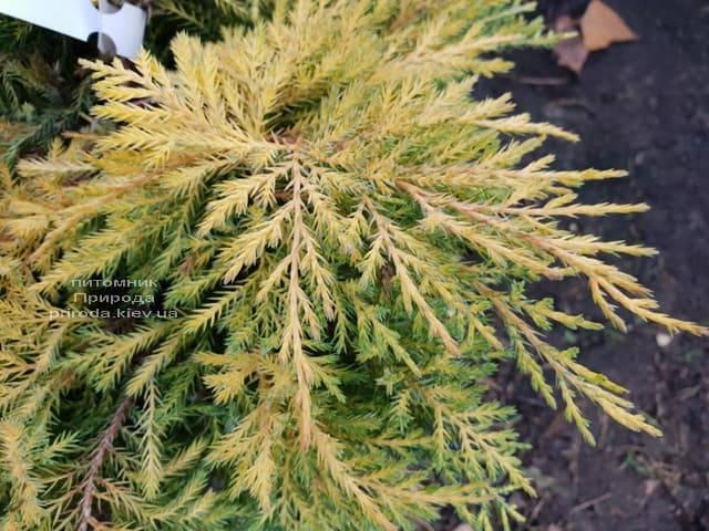 Можжевельник средний / пфитцериана Голд Стар (Juniperus media / pfitzeriana Gold Star) ФОТО Питомник растений Природа (1)
