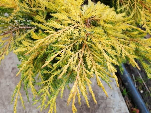 Можжевельник средний / пфитцериана Голд Стар (Juniperus media / pfitzeriana Gold Star) ФОТО Питомник растений Природа (3)