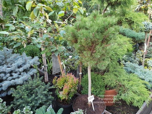 Хвойные и вечнозелёные растения ФОТО Питомник растений Природа (10)
