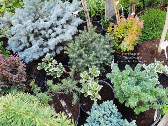 Хвойные и вечнозелёные растения ФОТО Питомник растений Природа (11)