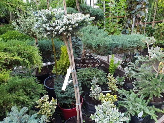 Хвойные и вечнозелёные растения ФОТО Питомник растений Природа (12)