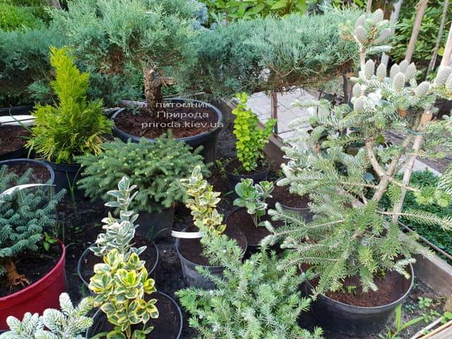 Хвойные и вечнозелёные растения ФОТО Питомник растений Природа (13)