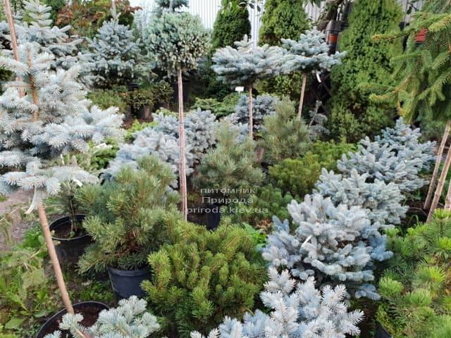 Хвойные и вечнозелёные растения ФОТО Питомник растений Природа (16)