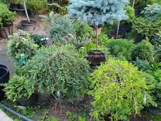 Хвойные и вечнозелёные растения ФОТО Питомник растений Природа (17)