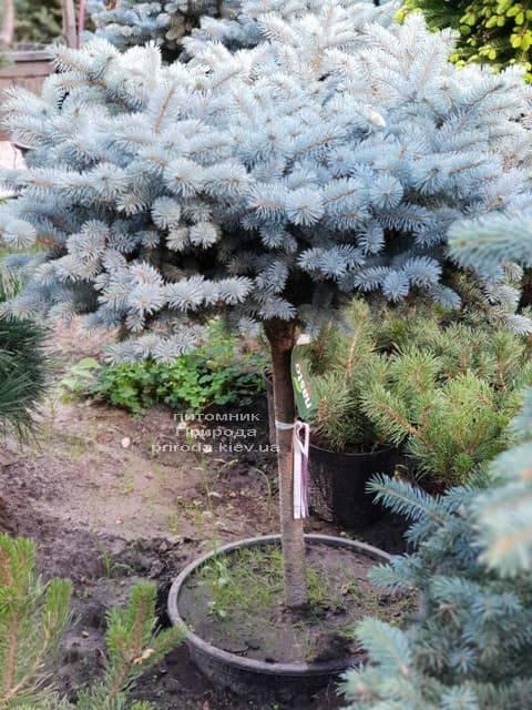 Ель Глаука Глобоза ФОТО Питомник растений Природа (18)