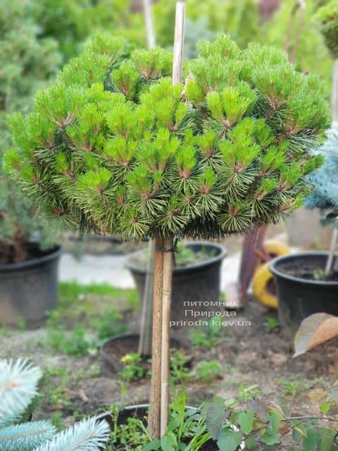 Сосна горная на штамбе ФОТО Питомник растений Природа (21)