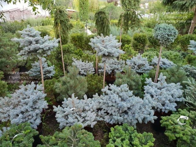 Хвойные и вечнозелёные растения ФОТО Питомник растений Природа (22)