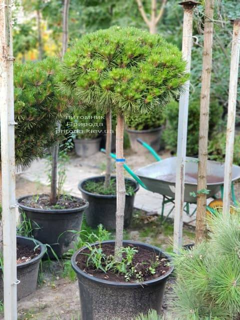 Сосна горная на штамбе ФОТО Питомник растений Природа (23)
