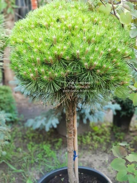 Сосна горная на штамбе ФОТО Питомник растений Природа (25)