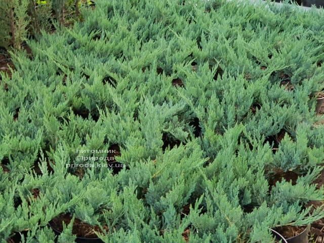 Можжевельник Блю Чип ФОТО Питомник растений Природа (27)
