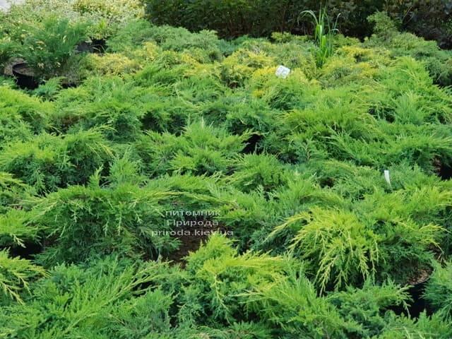 Можжевельники ФОТО Питомник растений Природа (28)