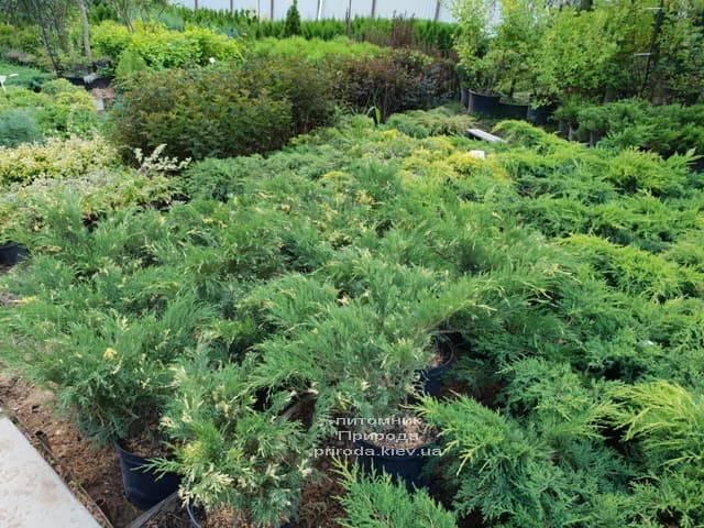 Можжевельники ФОТО Питомник растений Природа (29)