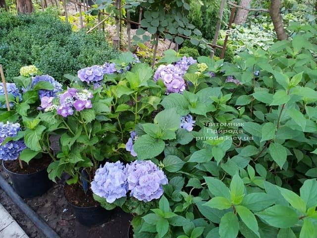 Гортензии ФОТО Питомник растений Природа (3)