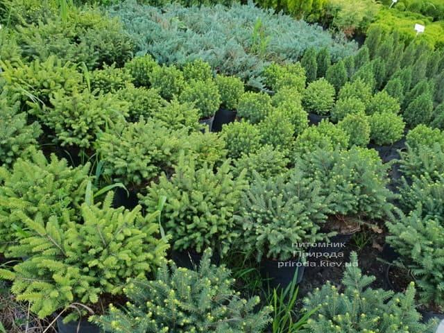 Хвойные растения ФОТО Питомник растений Природа (32)