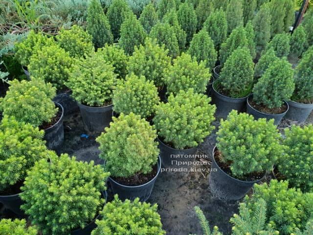 Ель канадская ФОТО Питомник растений Природа (33)