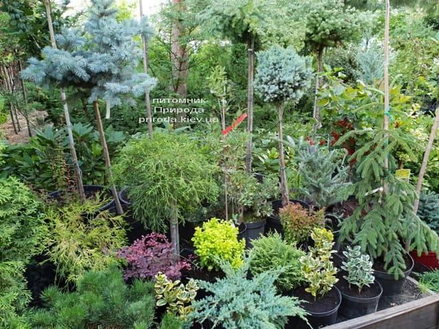 Хвойные и вечнозелёные растения ФОТО Питомник растений Природа (4)