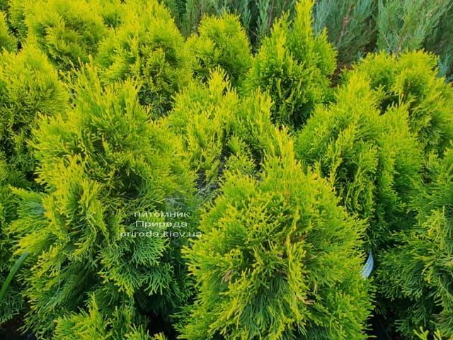 Туя Джанед Голд (Голден Смарагд) ФОТО Питомник растений Природа (40)