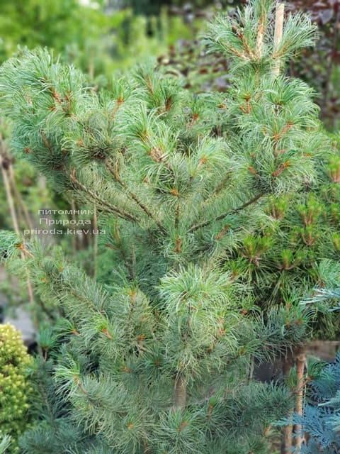 Сосна мелкоцветковая ФОТО Питомник растений Природа (44)
