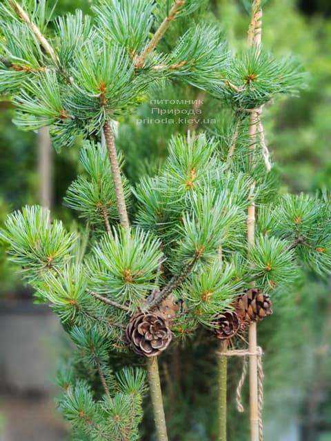 Сосна мелкоцветковая ФОТО Питомник растений Природа (45)