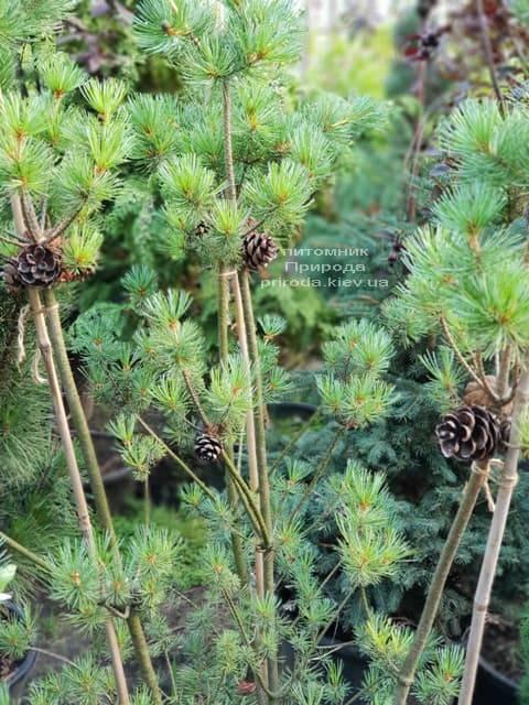 Сосна мелкоцветковая ФОТО Питомник растений Природа (46)