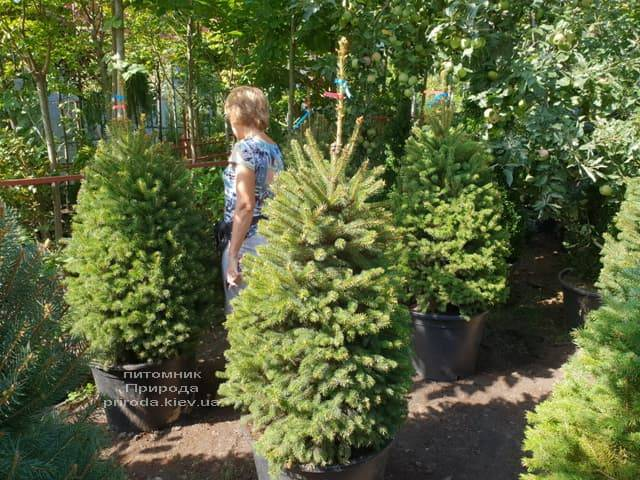 Ель Глаука ФОТО Питомник растений Природа (47)