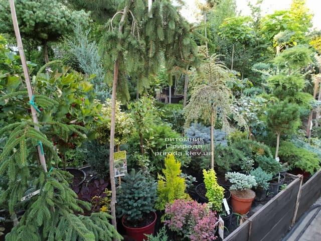 Хвойные и вечнозелёные растения ФОТО Питомник растений Природа (5)